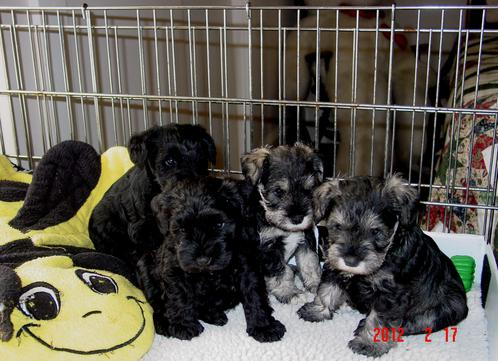 Bouvier Des Flandres 8 Weeks Puppies